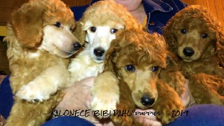 Mini F1b Bernedoodles For Sale Tanner Ridge Bernedoodles