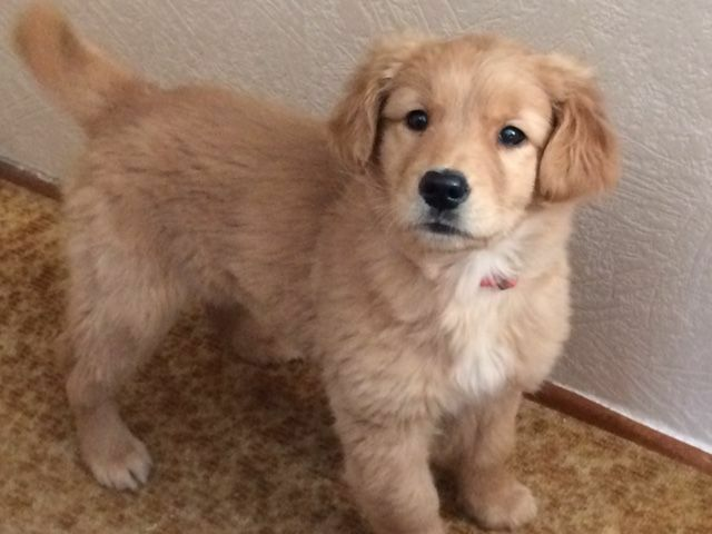 Golden Retriever Female Pup Charlottetown Dogs Puppies For