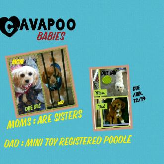 Cavapoo Babies Sweet As Can Be Cavapoo Is A Cavalier King