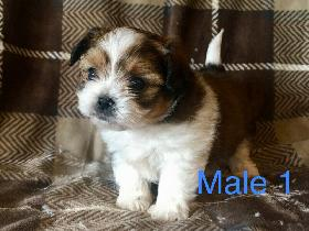 Yorkie Yorkie Dogs & Puppies for Rehoming in Saskatoon
