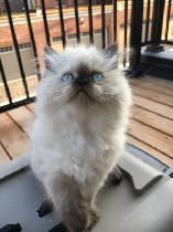 Le Ragdoll Cats & Kittens for Rehoming in Kitchener