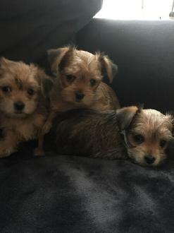 Gorgeous Caramel Morkie Pups These Morkies Are A Precious Mix Of