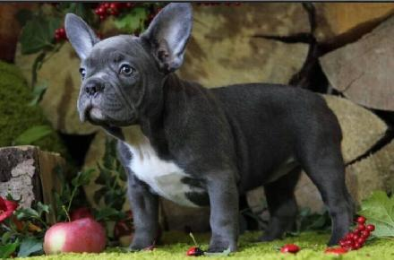 French Bulldogs For Sale We Have An Amazing Selection Of