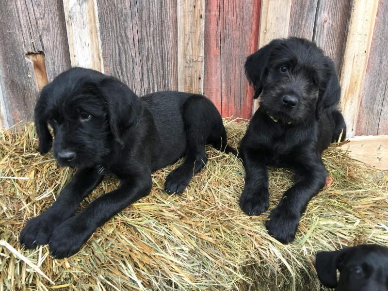 Golden Griffon Labradoodle Puppies Yes Youve Read That